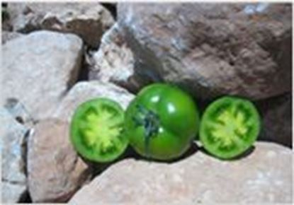 Picture of green Tomato