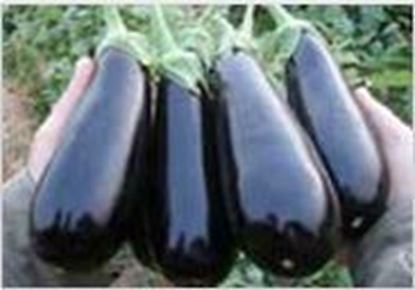 Picture of Eggplant Hybrid( No. 335 )