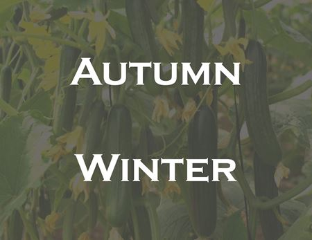 Picture for category Cucumber Autumn  Winter